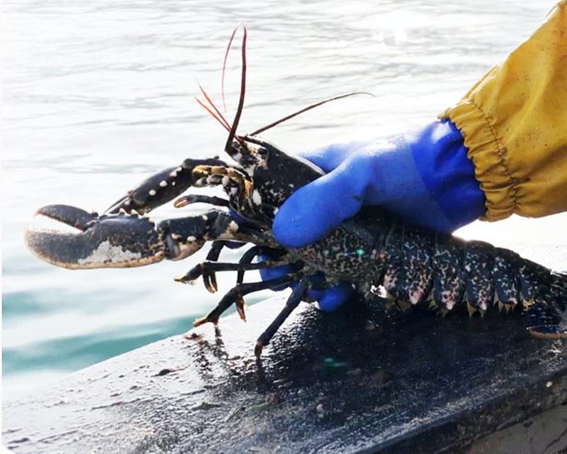 live lobsters delivered in uk